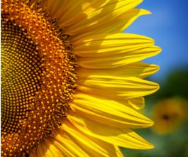 rsvp heaven ex sunflower